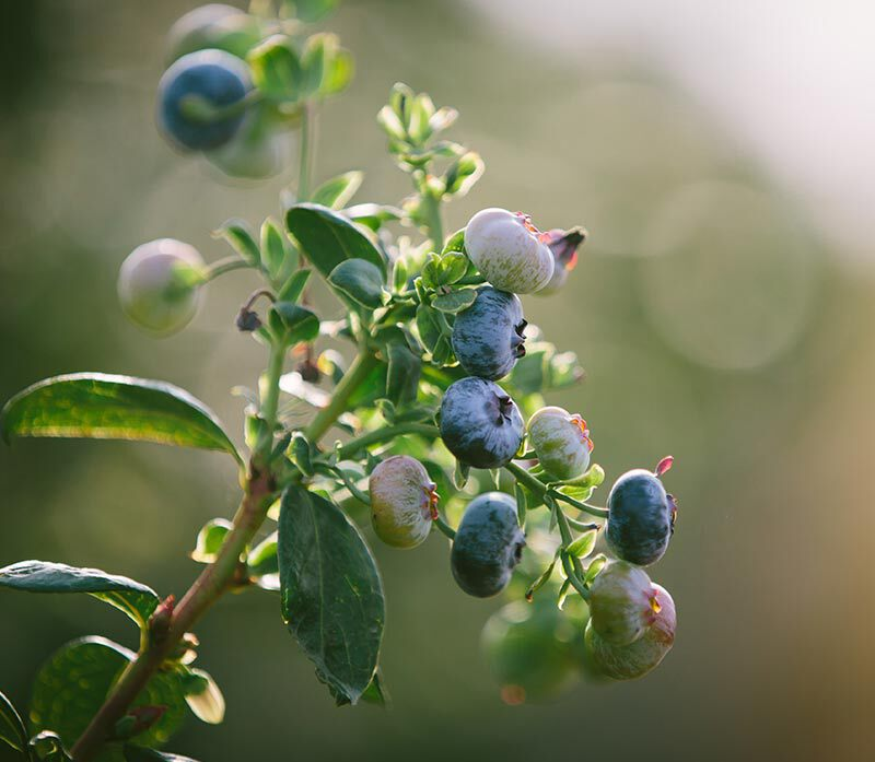Blueberries large